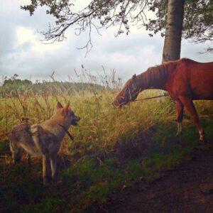 Dit was tijdens de wandeling met Judith Visser op 13 juli. Hierop zie je mijn paard Chippy en haar wolfshond Yuriko. Yuriko was altijd bang   en op deze foto is te zien hoe de nieuwsgierigheid van Yuriko gaat winnen van haar angst! Hoe mooi!